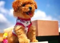 Pomeranian ve Malta Köpeği İlanları