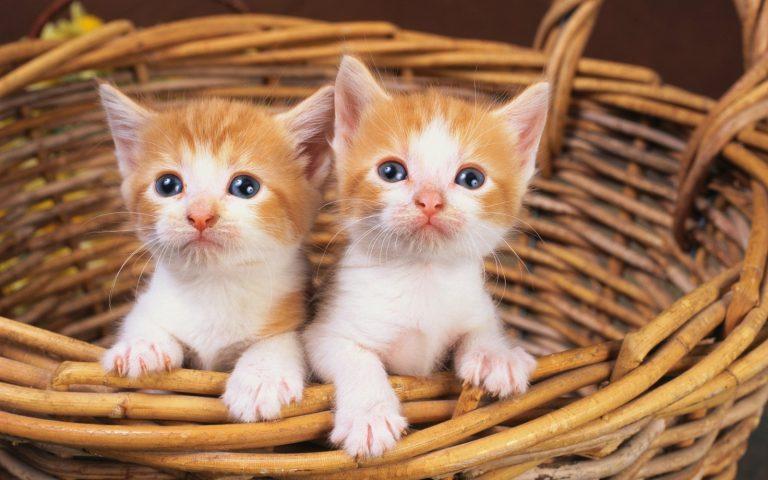 Yavru Kedilerde Göz İltihabı